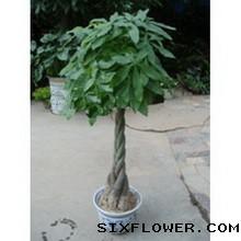 发财树,1.6米高