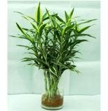 绿植/瓶插富贵竹