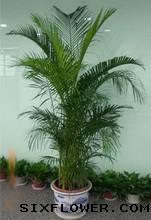 绿植/凤尾竹