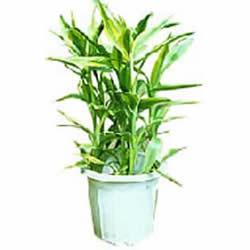 绿植/盆栽富贵竹