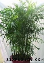 绿植/夏威夷椰树