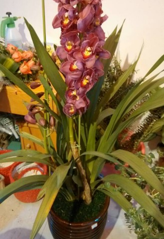 大花惠兰(紫色)