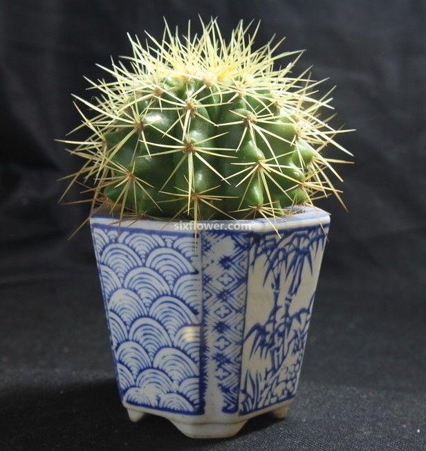 仙人球盆栽