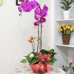 恭喜发财/5株红色蝴蝶兰:2株紫蝴蝶/陶瓷花盆