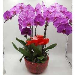 愿你的生活更加灿烂芬芳/6株紫色蝴蝶兰