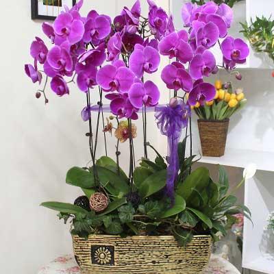 8株优质紫蝴蝶兰/为你祈祷,祝你健康快乐