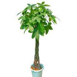 1.3米发财树/恭喜发财