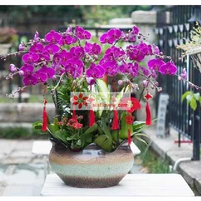 12株蝴蝶兰,春天的气息