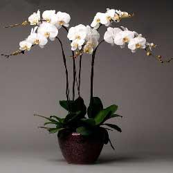 6株白色蝴蝶兰,感恩有您
