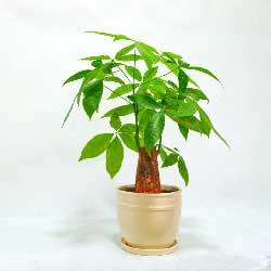 小型发财树盆栽,适合放桌面、茶几
