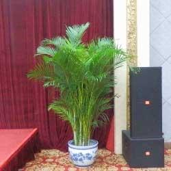 凤尾竹,室内盆景