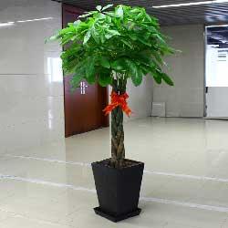 三编发财树,黑色花盆,朝天大路