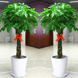 三编发财树,1.6米高,财源广进