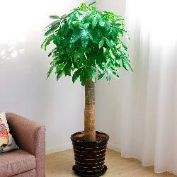单杆发财树,1.6m,滚滚财源
