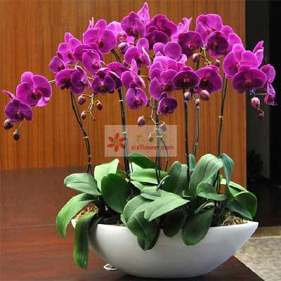 6株紫色蝴蝶兰,幸福开遍生活中每个角落