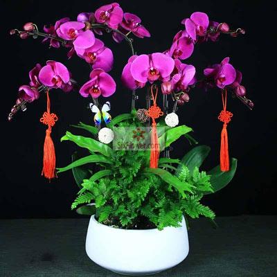 6株紫红蝴蝶兰,恭喜新年到