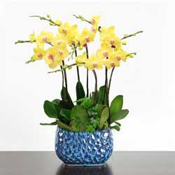 6株黄色蝴蝶兰,愿你幸福满溢