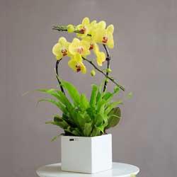 2株黄色蝴蝶兰,提早拜年