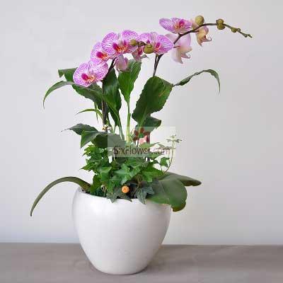 2株紫色蝴蝶兰,未来更美好