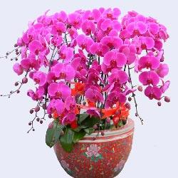 12株紫红色蝴蝶兰,佳节快乐