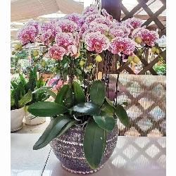 11株紫色蝴蝶兰,万事皆如愿