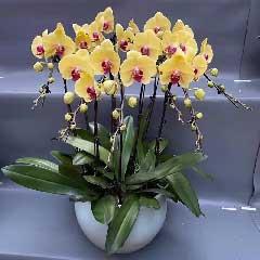 8株黄色蝴蝶兰,所有快乐跟随你