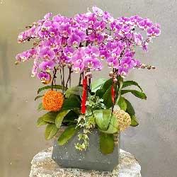 6株紫红色蝴蝶兰,岁岁平安
