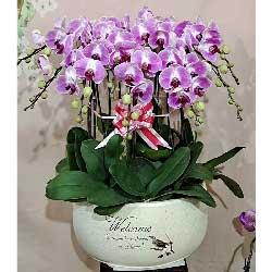11株紫色蝴蝶兰,我特别的祝福