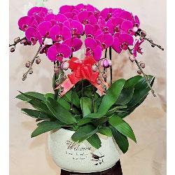 6株红色蝴蝶兰,祝愿你幸福安康