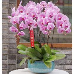 6株紫红蝴蝶兰,衷心祝福