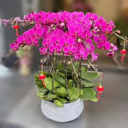8株红色蝴蝶兰,年年幸福开心