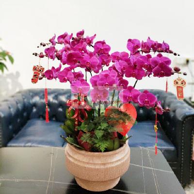 8株红色蝴蝶兰,家家团圆